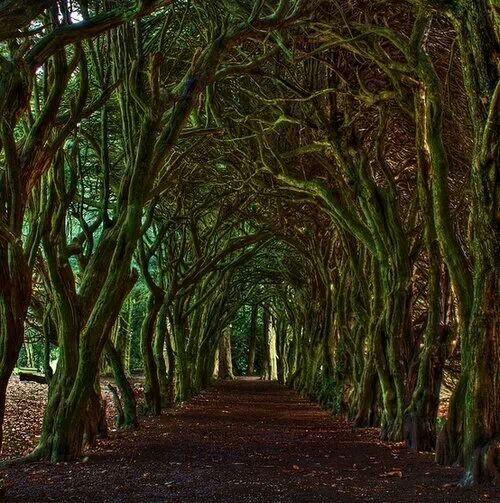 Tree tunnel, Dublin, Ireland