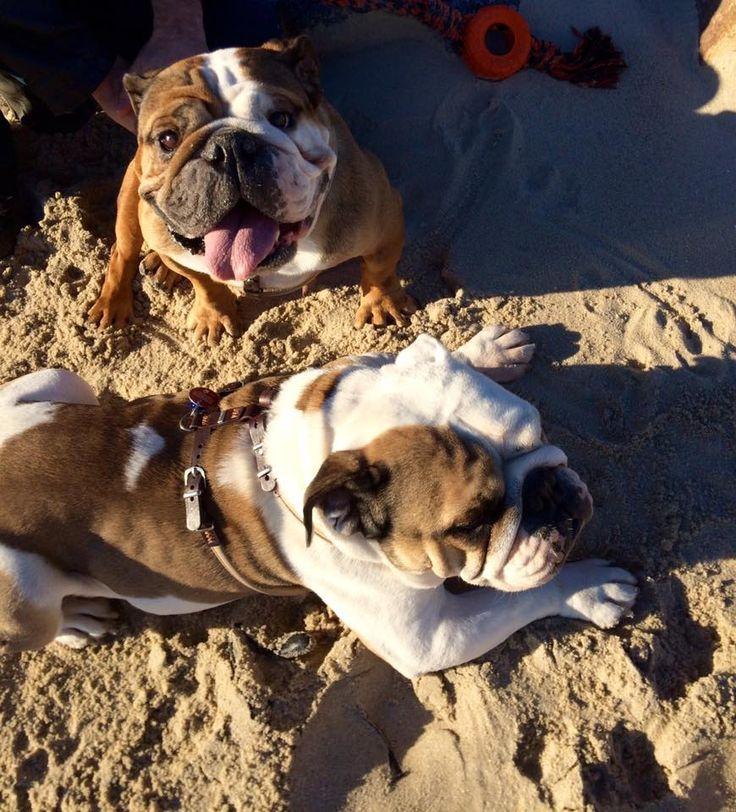 """The Pell-Mell-Pack hat in Sachen Regeln und Rituale im Zusammenleben mit Hund vorgelegt und wir möchten darauf antworten. Wir, beziehungsweise Silke schildert ihre hauseigenen Rituale: """"Hm ja, … je länger ich drüber nachdenke… Rituale gibt einige. Die wichtigsten: Es wird in der Tür gewartet, bis ich die Näpfe freigebe. Unsere Englische Bulldogge Rubeus frisst langsamer …"""