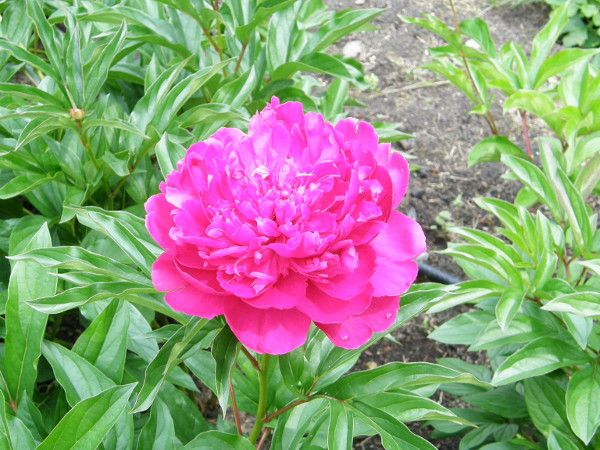 Dlaczego Piwonia Nie Kwitnie Flowers Plants Rose