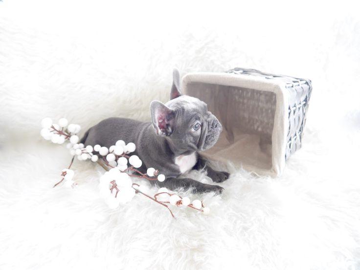 Imperialbluebulldog – Blauwe Franse bulldog pups