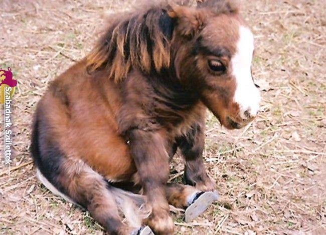 Ez a ló olyan kicsi, hogy az emberek nem hiszik el, hogy valódi — De ő bebizonyítja, hogy mindenki rosszul gondolja – Szabadnak Születtek