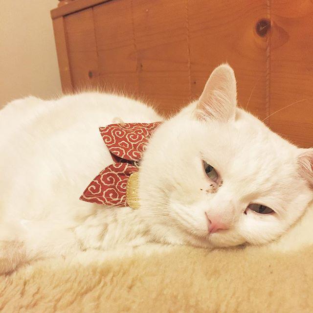 #白猫#猫#猫部#ねこ部#ネコ部#にゃんこ部にゃんこ#愛猫#まっしろねこ#でぶ猫#ぶさかわ#ふてにゃん#ふてねこ#猫好きな人と繋がりたい#ねこすきさんと繋がりたい#ねこすたぐらむ#おばあちゃん猫#きーちゃん#きーちゃんの毎日#首輪
