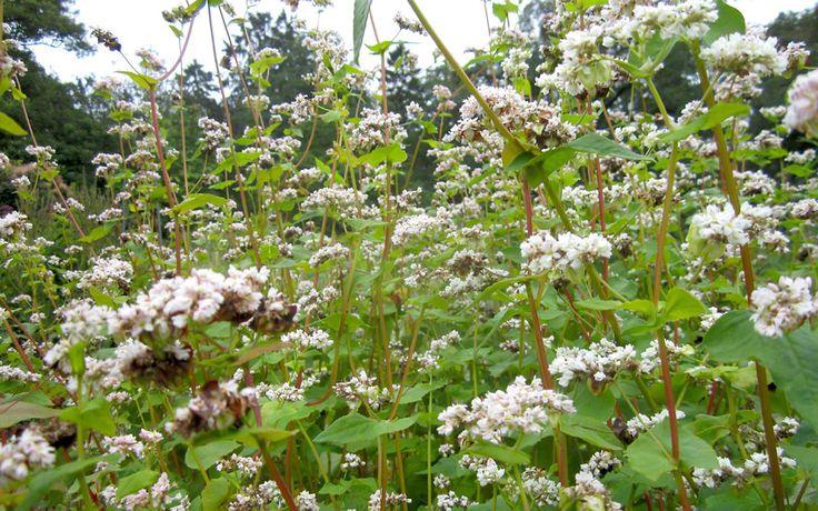 Buchweizen (Saatgut) Der echte Buchweizen wächst auch noch in schlechten Böden, gerne auch als Gründüngung eingesät. Die Buchweizen-nüsschen reifen schnell, und können auch in ungünstigen klimatischen Lagen zuverlässig geerntet werden. Die weißen Blüten gelten als gute Bienenweide. Gesundheitlich wertvoll ist er besonders durch den hohen Gehalt an Rutin, ein Flavonoid, das die  Mikrozirkulation in den Blutgefäßen verbessert. 1,30Euro/500 Samen