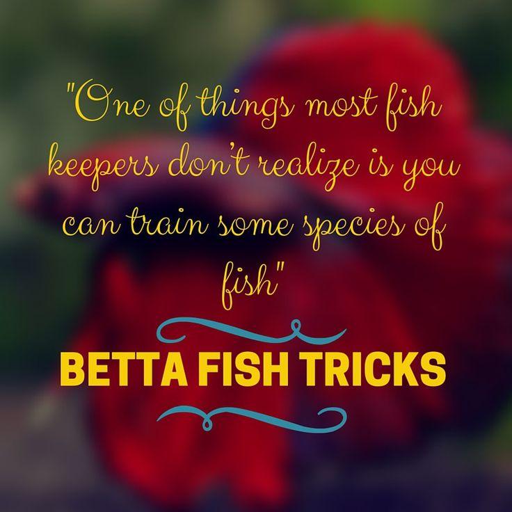 11 best betta fish fin rot images on pinterest fish for Betta fish training