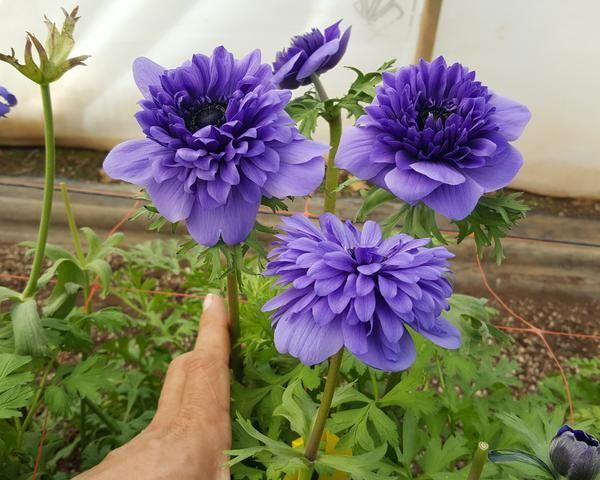 Anemone Fullstar Blue In 2020 Spring Plants Anemone Bloom