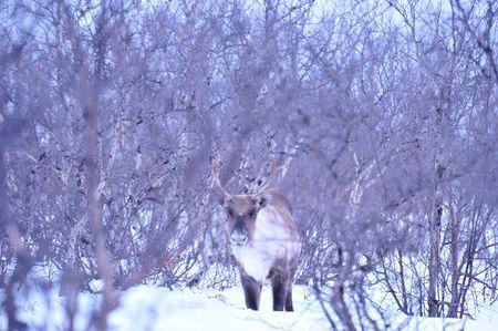 Reindeer Photo by Kenichi Kita � National Geographic Your Shot