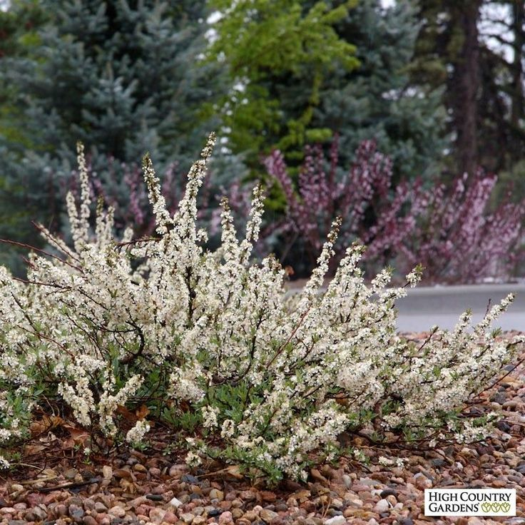 An outstanding selection of our western native sand cherry, Pawnee Buttes is a low growing, groundcover shrub with a profusion of fragrant white flowers in early spring and showy mahogany-red foliage in the fall. Drought resistant/drought tolerant plant.  Prunus besseyi 'P011S' is a 2000 Plant Select® introduction. 12-18 #cottagegardenshrubs