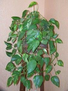17 best images about plantas de interior on pinterest for Plantas ornamentales de interior