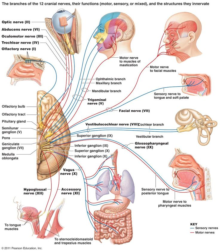 22 best Neuroanatomy images on Pinterest | Created by, Brain and Anatomy