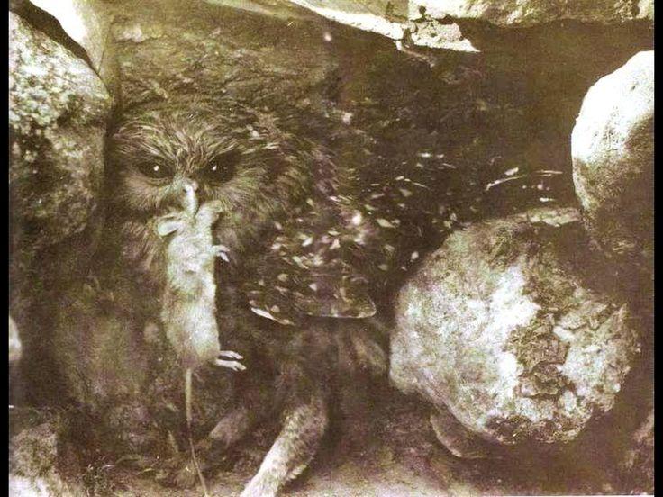 best extinct images extinct animals animals and south island laughing owl an extinct bird