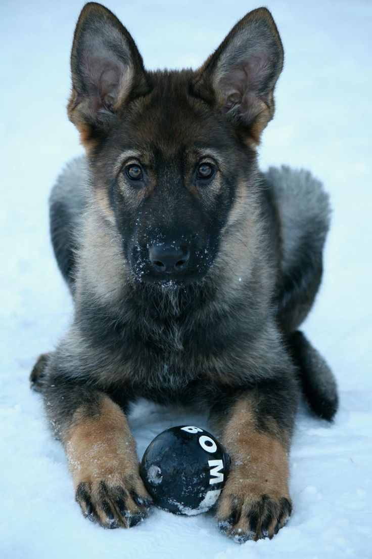 GSD puppy who is obviously going to be a bomb dog some day! So cute.