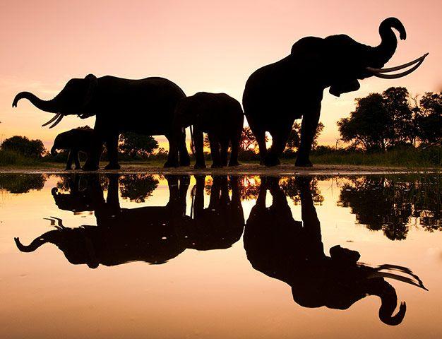 Credit: Chris Packham/WildPhotos 2013 African elephants, Botswana