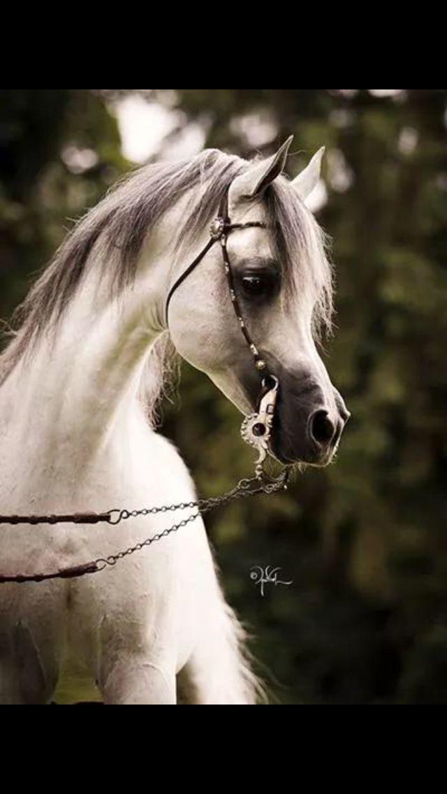 Pretty Grey Arabian