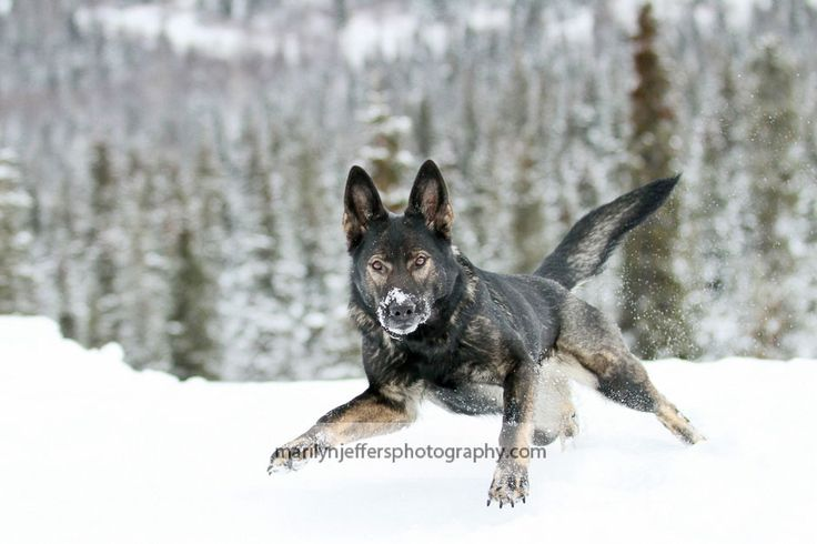 Beautiful Sable German Shepherd Dog in the Winter time
