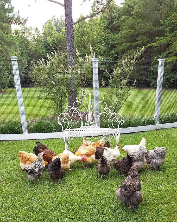 Our flock at Happy Days Farm.  #flock #backyardpoultry #chickens #farm