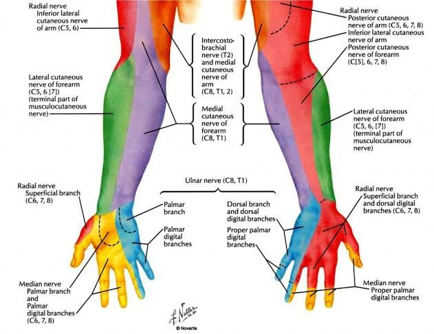 Dermatome Of Upper Limb