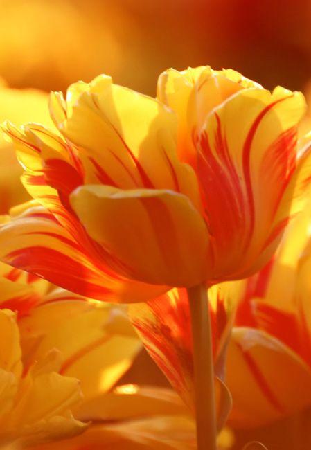 Beautiful flowers wallpapers pictures pc full hd wallpapers desktop orange tulips flowers wallpapers download beautiful flowers hd wallpapers and desktop backgrounds images source voltagebd Image collections
