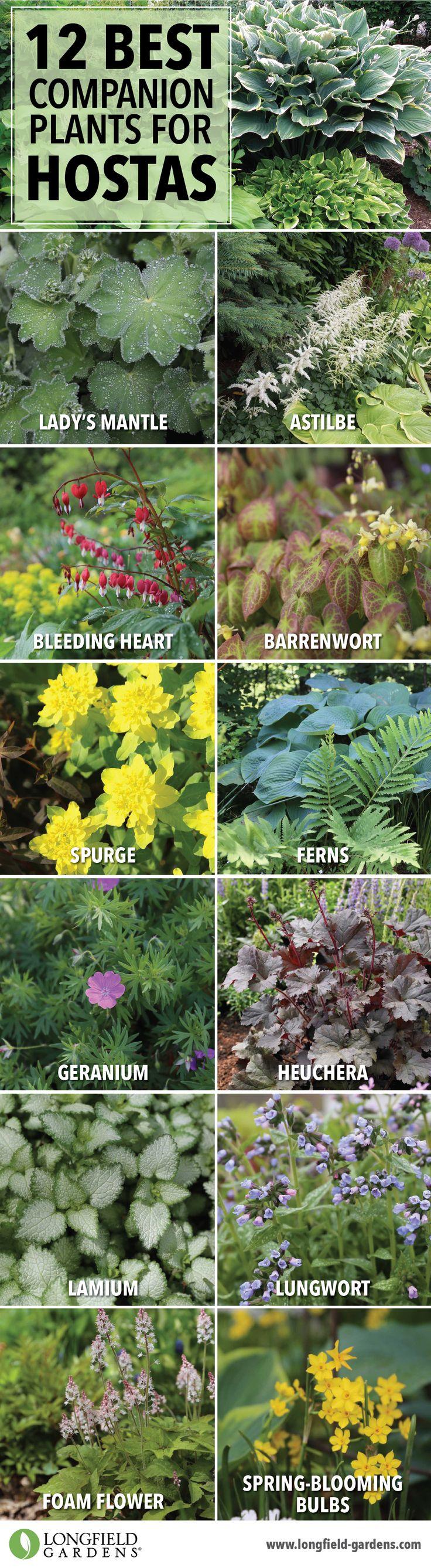 Companion plants for hostas. ...