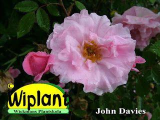 John Davies  har blivit från ca 1,2 - högst knappt 2 m. Sorten blommar villigt med täta blommor på en diameter av ca 8 cm. Härdig: USDA zon 3 (-35C). Hos oss har John Davies klarat sig bra men en aning behöver man beskära på våren.