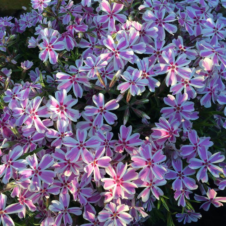 Creeping Phlox ~Candy Stripes ~ perennial | Flowers in my ...