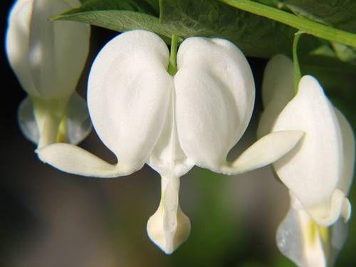 ağlayan kalp, kanayan kalpler çiçeği