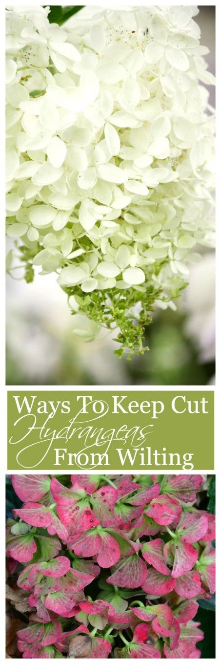 HOW TO KEEP CUT HYDRANGEAS FROM WILTING Easy ways to keep hydrangea blooms fresh and full!-stonegableblog.com