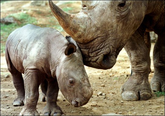 Javan Rhinoceros, endangered...hunting, poaching, habitat loss