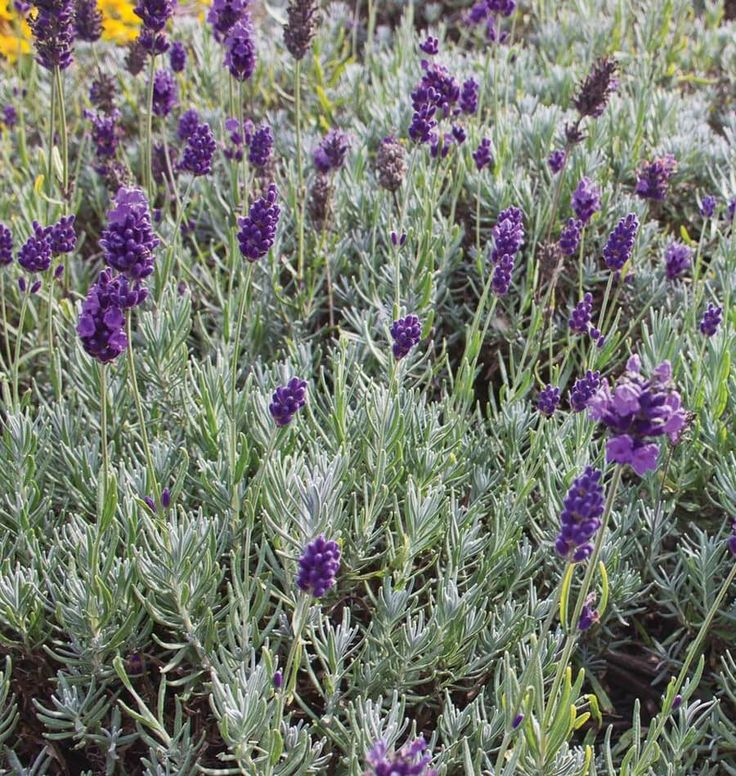 Dwarf Munstead Lavender Seeds give off a sweet and delicate perfume. It is great for drying, hung by itself or with other tiny flowers.
