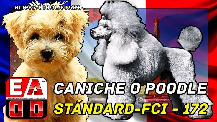 La raza de perros caniche o poodle (French poodle). Características y cu...