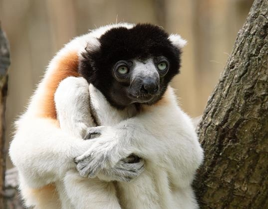 Madagascar has an extraordinary array of native wildlife, but the island is perhaps best known for its Lemur population. There are around 100 species of Lemur found only in Madagascar, including the endangered Crowned Sifaka pictured here. What a CUTIE!