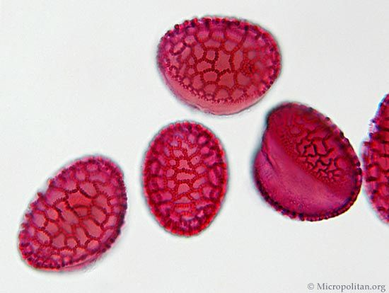 These lily pollen grains have been stained to make them more visible. With the 40X objective of the microscope the texture of the surface can be made visible