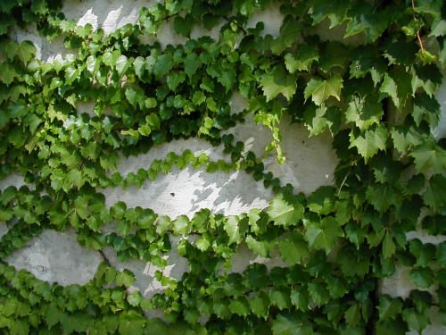 Some may wonder why I include Boston Ivy as a favorite plant. Here's why: it has lovely and thick foliage year round, it can be trained up almost everything, and it is one of the few vines that can grow in the shade. Zones 3-9, attracts birds, is deer resistant, and it is easy to grow. It can be grown anywhere from a sunny spot to a super shady spot. If your house faces north, you may have trouble finding a plant to arch over your doorway in the deep shade. Look no further than the Boston…