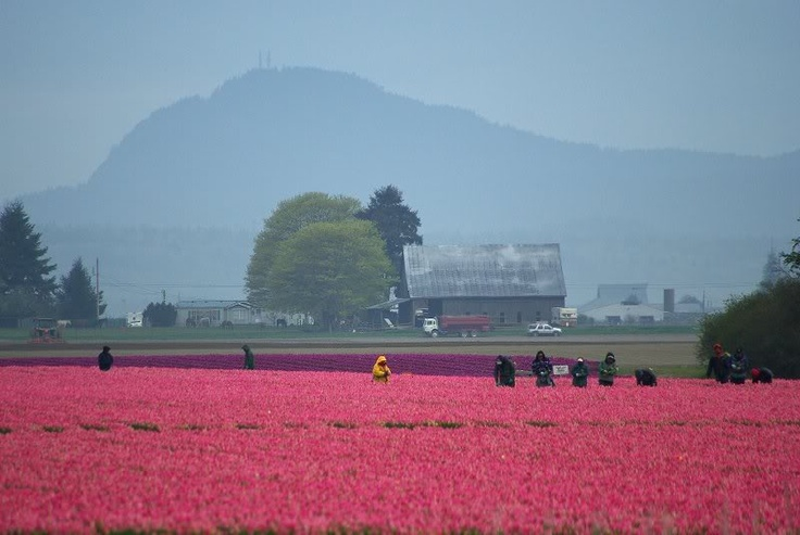 Pink tulips brighten a gloomy, gray day in Skagit Valley, WA with Cascade Mountains and barn in distance