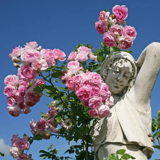 39 best climbing rambling roses images on pinterest. Black Bedroom Furniture Sets. Home Design Ideas