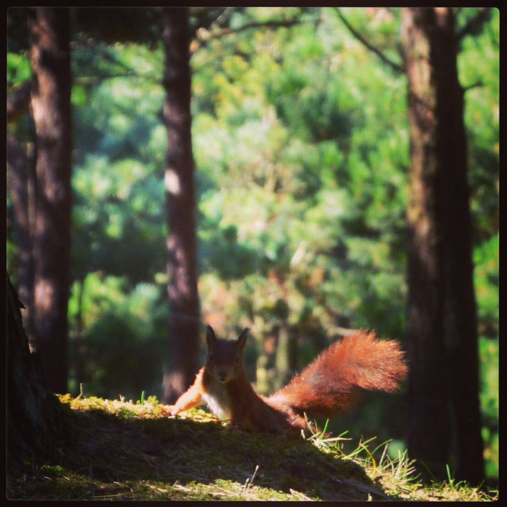Red Squirrel at Formby Point  #RedSquirrel #Protected #NationalTrust