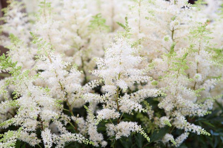 Plant profile of Astilbe 'Deutschland' on gardenersworld.com