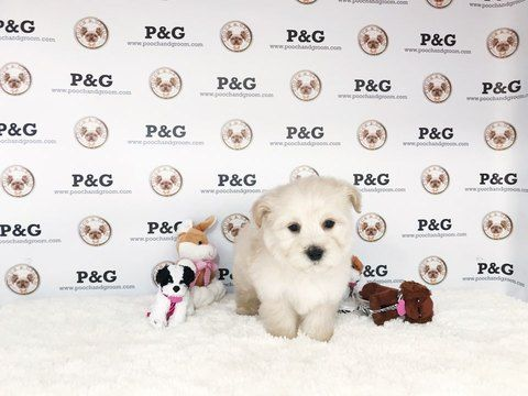 Maltese-Poodle (Toy) Mix puppy for sale in TEMPLE CITY, CA. ADN-68452 on PuppyFinder.com Gender: Male. Age: 8 Weeks Old