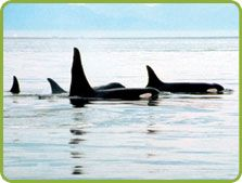 Heighten your love for whales as well as each other on a boat trek with Vancouver Whale Watch