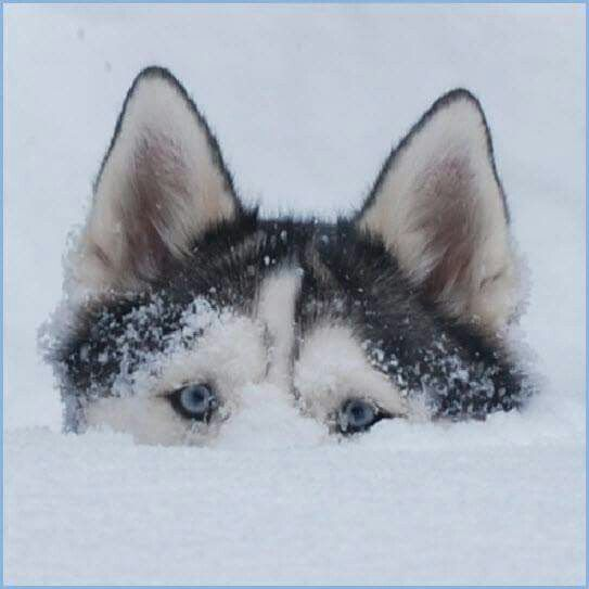 Making Your Own Dog Food For Huskies