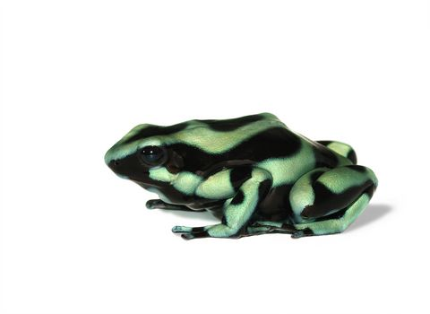 Green and Black Poison Dart Frog for sale - Dendrobates auratus