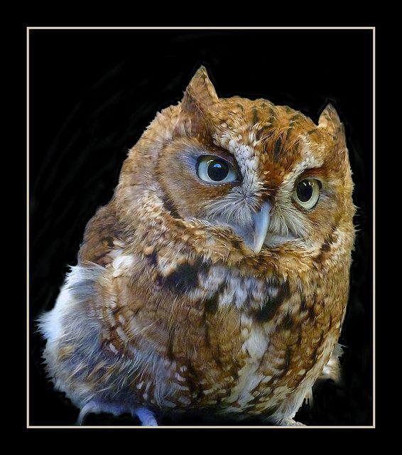 24 best Eastern screech owls images on Pinterest | Barn ...
