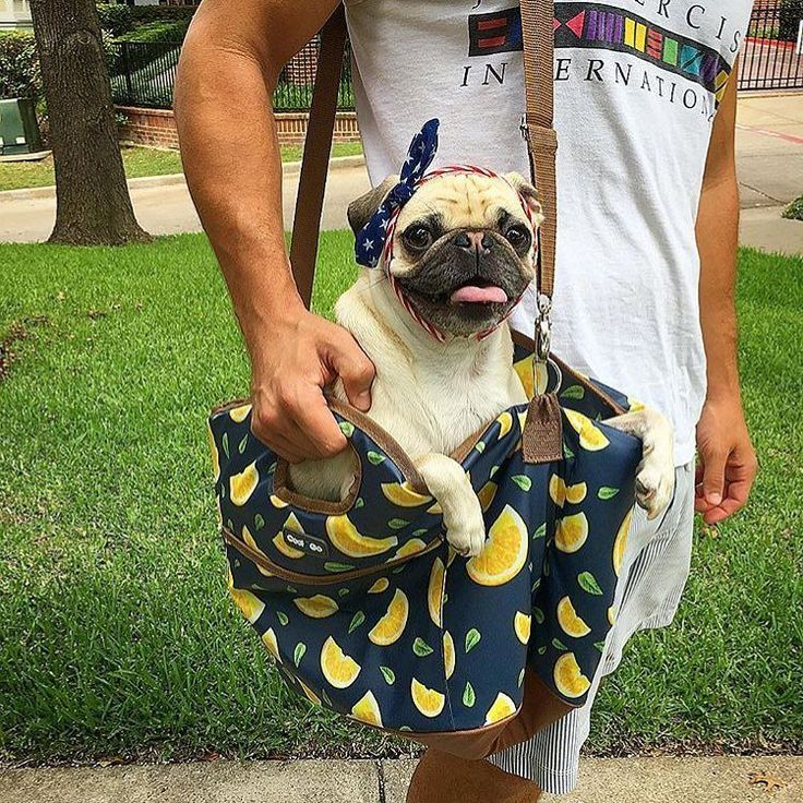 Traveling in style! Photo by @pippaprincesspug Want to be featured on our Instagram? Tag your photos with #thepugdiary for your chance to be featured.