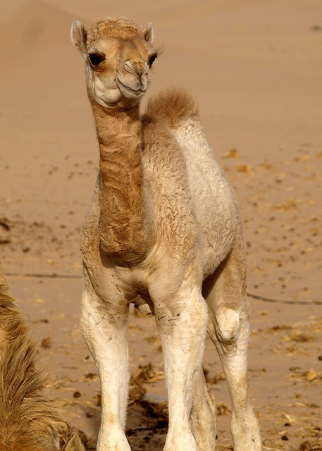 Baby camel in UAE by Sarah Hocevar i want to hug this little baby.............. so cute, i could hang out with him all day