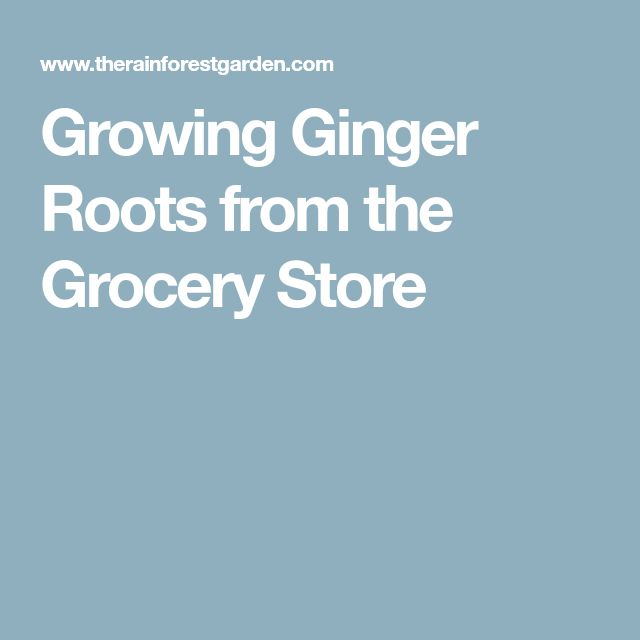 Growing Ginger Roots from the Grocery Store