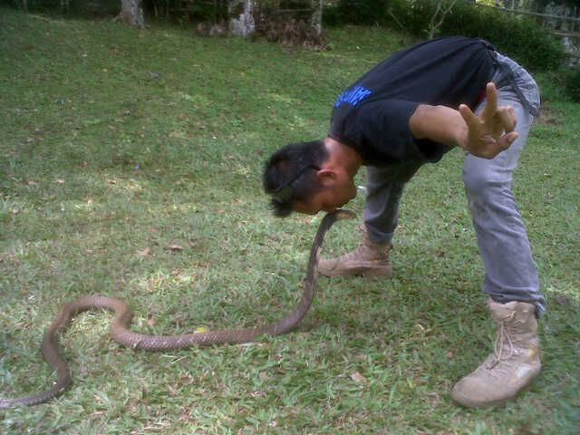 "Ophiophagus hannah ""king cobra"" (dont try this any where..)"