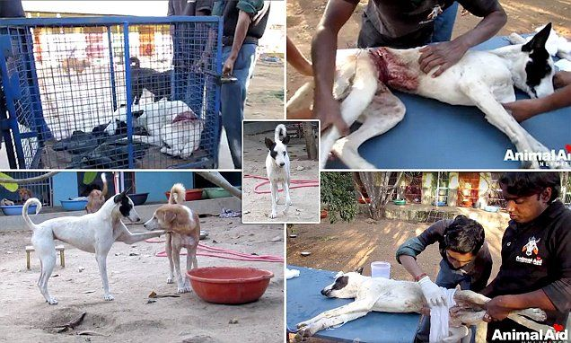 Brave Ben: Street dog sliced by a metal wire happy to be playing again
