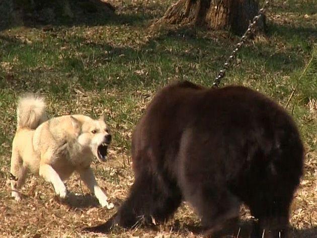 Lupte ilegale de câini cu urşi, sponsorizate de producătorul de hrană pentru animale Royal Canin http://www.ziarulactualitatea.ro/primplan/lupte-ilegale-de-caini-cu-ursi-sponsorizate-de-producatorul-de-hrana-pentru-animale-royal-canin/