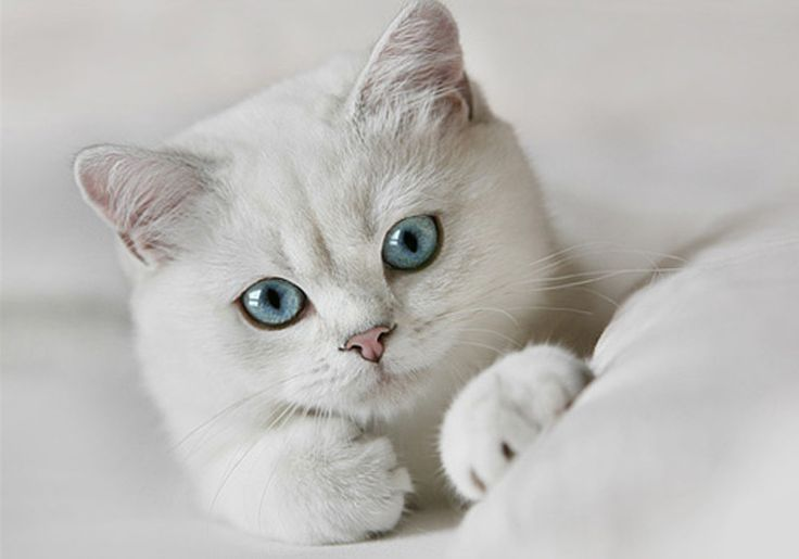 In the 1950s, American Shorthair breeders sought to incorporate the emerald eyes ... with a short, manageable coat that eventually became the Exotic Shorthair.