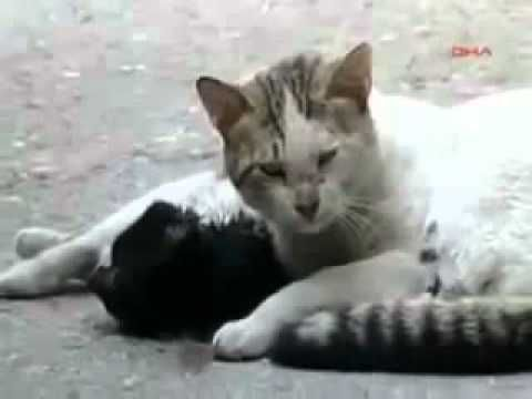 ▶ Cat crying over he's dead friend - YouTube this made me cry, and speaks LOUDLY who have said animals feel no emotion