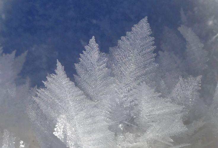 """Feuilles de givre, d'extraordinaires """"flocons"""" de 5cm de long, qui poussent au sol dans des conditions de froid et d'humidité rares. (les Cluds, fév 2015)"""